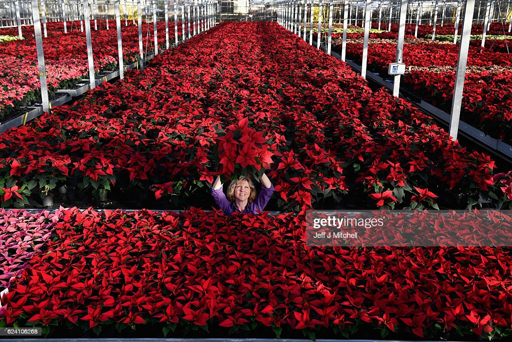 Carolyn Spray holds up one of her many Poinsettia plants ready to be dispatched for the Christmas season at the Pentland Plants garden centre on November 18,2016 in Loanhead, Scotland. The garden centre grows around 100,000 poinsettias, a traditional Christmas house plant. The Midlothian business supplies a host of garden centres and supermarkets across Scotland and the north of England in time for the festive season.