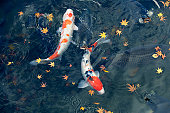Carp and fallen leaves in pond, high angle view