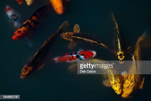 Carp fish swimming in pond : Stock Photo
