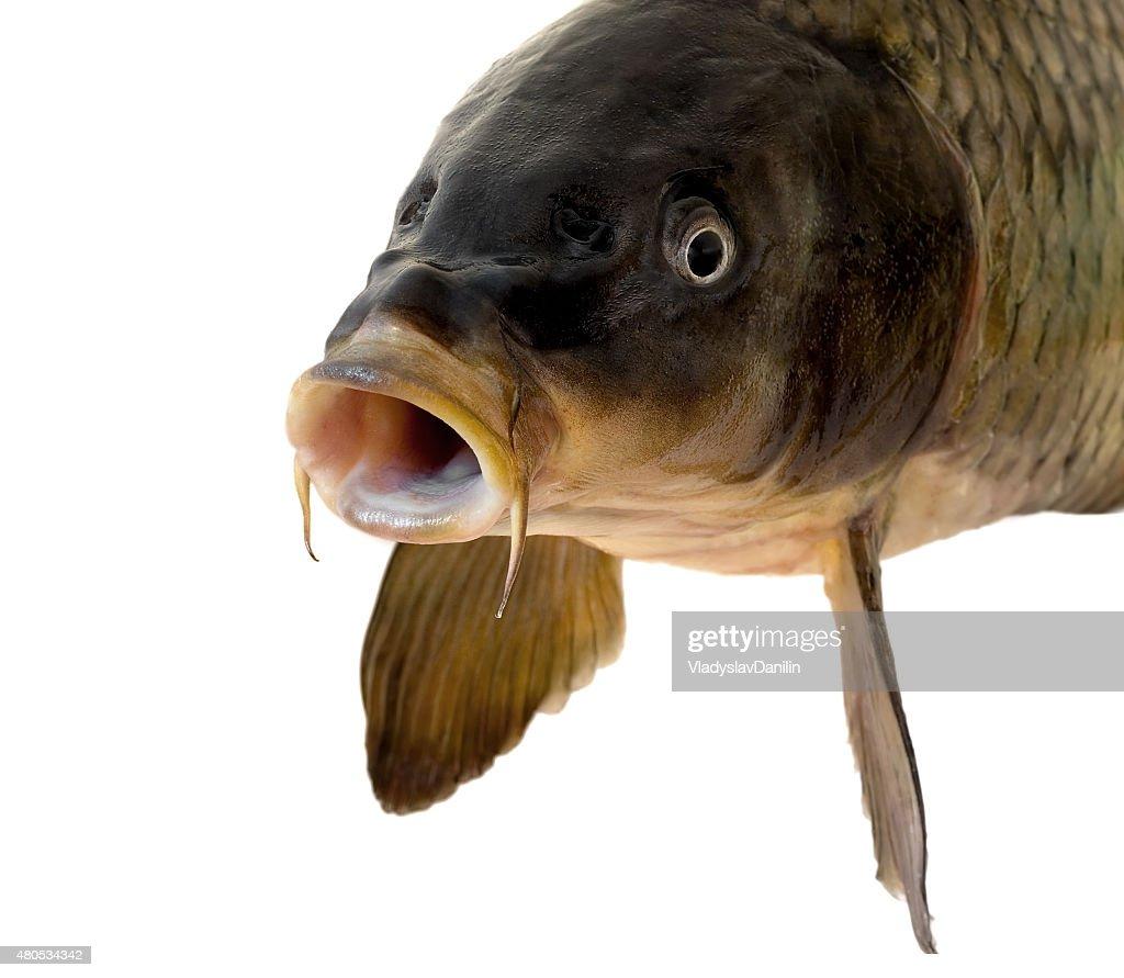 Carp head : Stock Photo