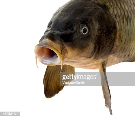 Carp head : Stock Photo