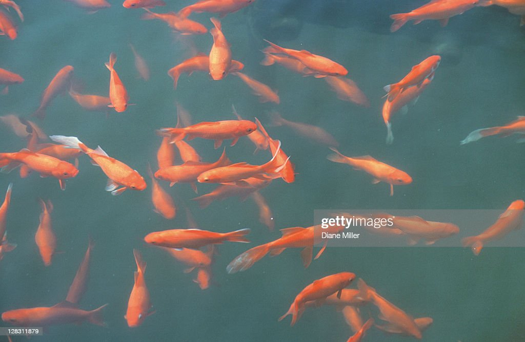 Carp in garden pool near Lake Dianshan, Shanghai, China : Stock Photo