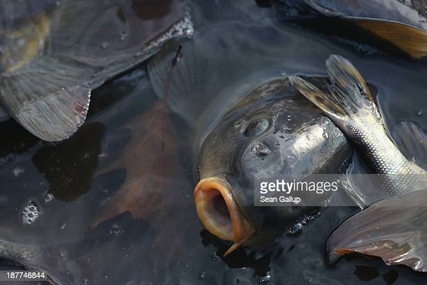 Carp lie trapped in a net during the annual carp harvest at the fish ponds on November 12 2013 near Peitz Germany Fish farming at the over 100 ponds...