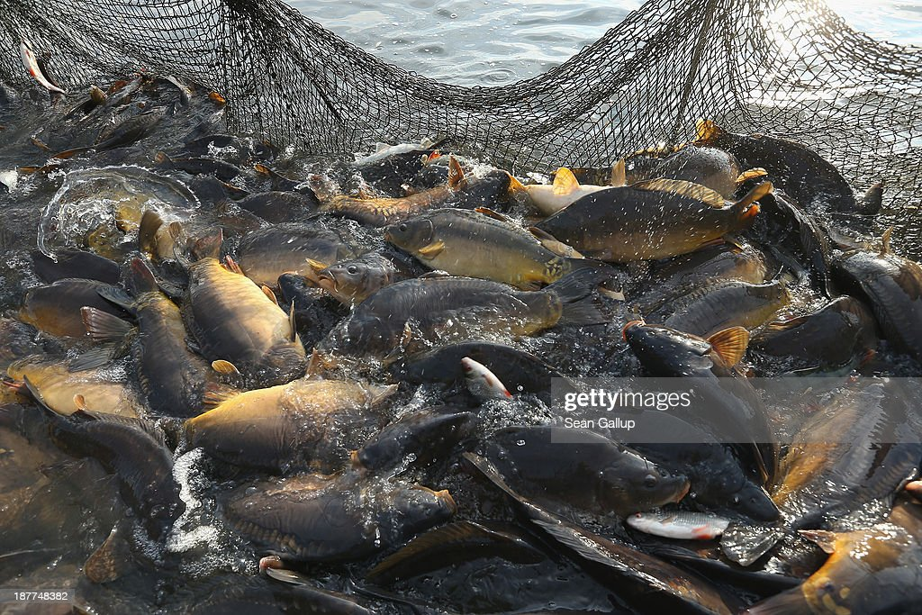 Carp lie trapped in a net during the annual carp harvest at the fish ponds on November 12, 2013 near Peitz, Germany. Fish farming at the over 100 ponds, which are man-made, dates back to the 15th century, and carp is the main fish harvested. Carp is the traditional Christmas dinner in many parts of the region, though one fisherman laments that tastes are changing among younger generations and that the demand for carp will decline.