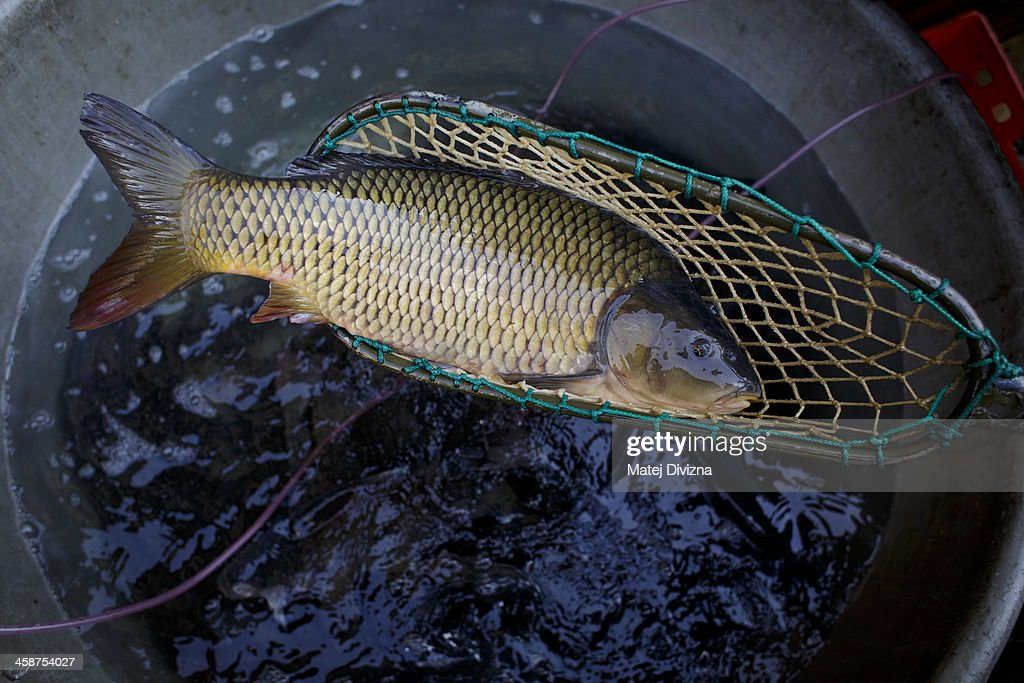A carp lies in a dip-net at fishmonger stall on December 21, 2013 in Prague, Czech Republic. In the days before Christmas, fisherman from Southern Bohemia sell their live fish on street corners for use in the traditional Czech Christmas dishes of fried carp, potato salad and fish soup.