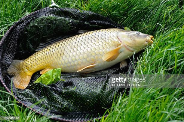 A carp of about 6 kilos is landed on May 22 2013 at Méteren in the 'Fils Aymon' lake by anglers A carp of over 45 kilos was recently caught in France...