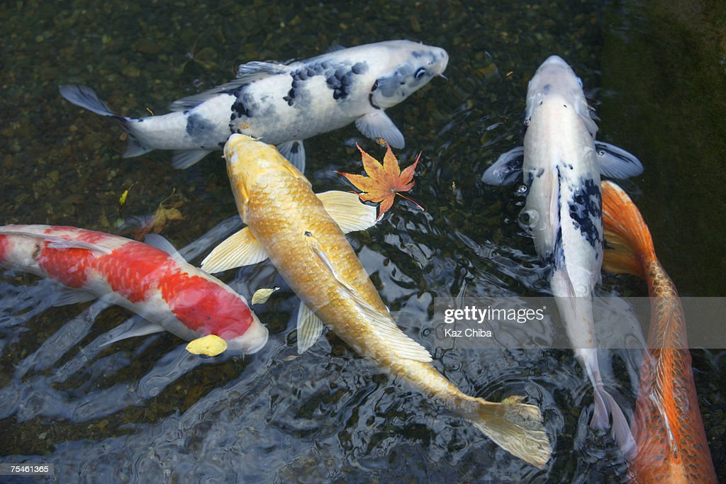 Carp swimming in pond, high angle view
