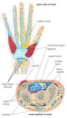 Carpal Tunnel Syndrome The Structures Of The Wrist Associated With Carpal Tunnel Syndrome