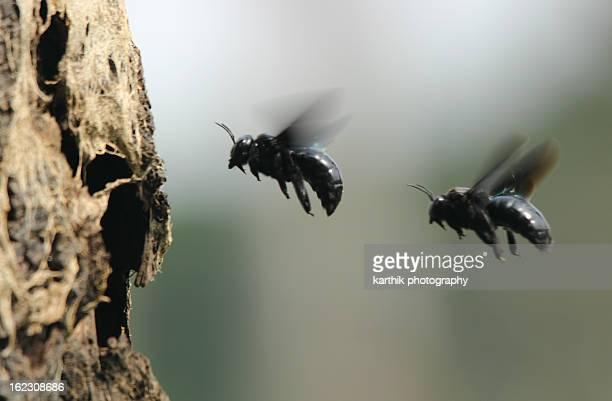 Carpenter Bees In Flight
