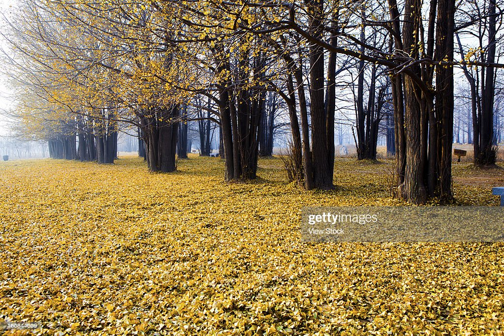 Carpet of autumn ginkgo leaves