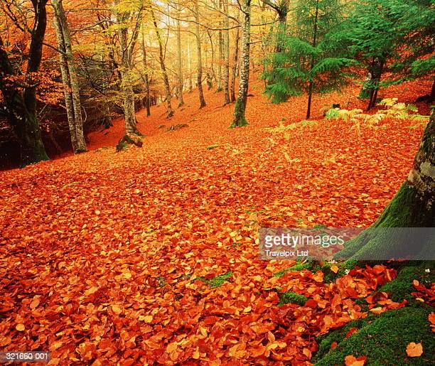 Carpet of autumnal leaves on floor of sloping woodland, Scotland