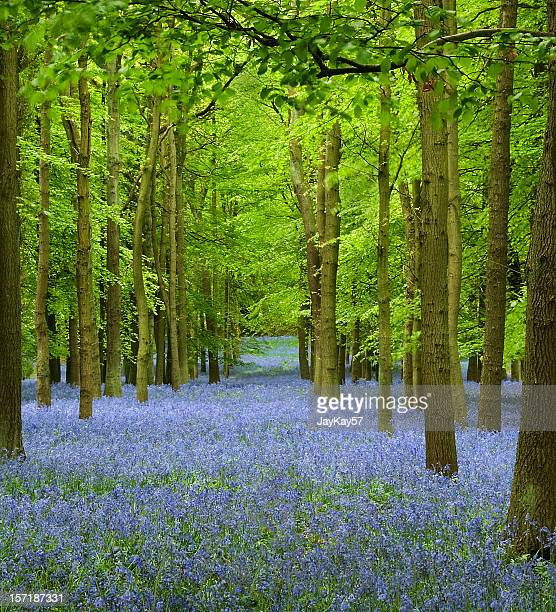 Carpet of bluebells in a forest in England