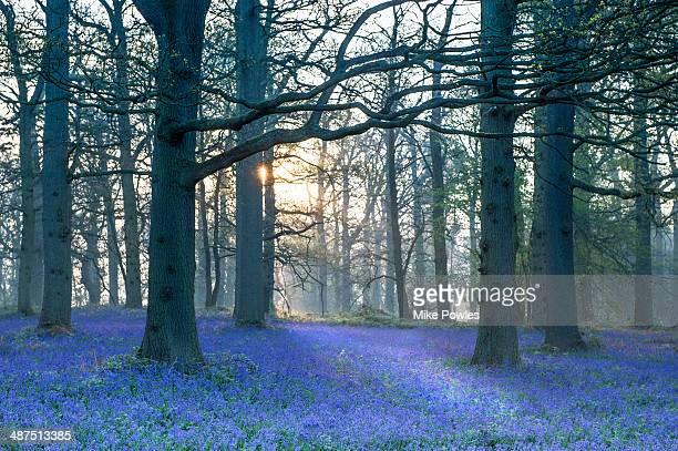 Carpet of bluebells in oak woodland