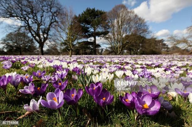 A carpet of crocuses are in full bloom at the Royal Botanic Gardens at Kew on March 15 2010 in London England The unusually cold winter in the UK has...