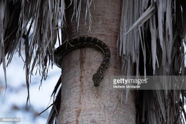 A carpet python is seen before it lifts a possum into a tree on October 22 2017 in Brisbane Australia The incident happened in the backyard of...