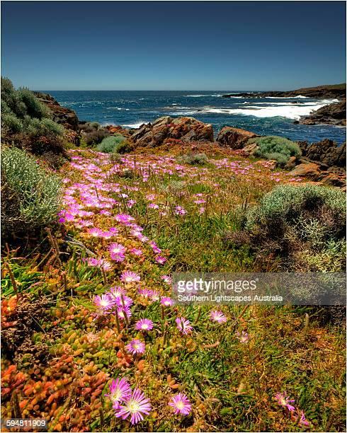 Carpobrotus blooms at Cape Wickham