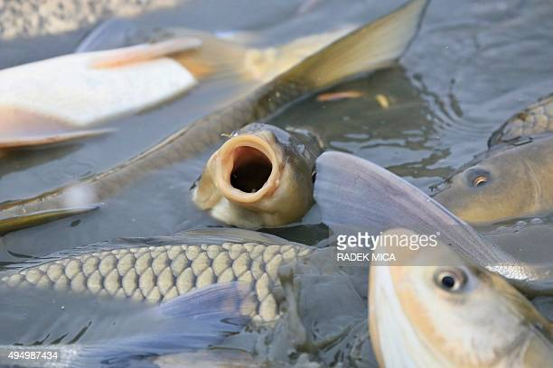 Carps are being catched in the Vrkoc pond near Pohorelice southern Moravia Czech Republic on October 30 2015 The fish registered as 'Pohorelice's...