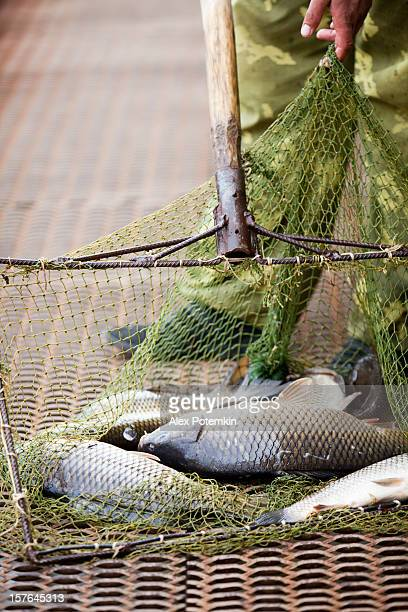 Carps in the landing net: fishing farm