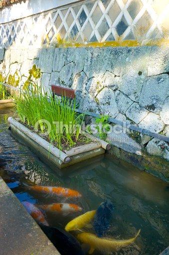 Carpstsuwano de peces koi foto de stock thinkstock - Peces koi precio ...