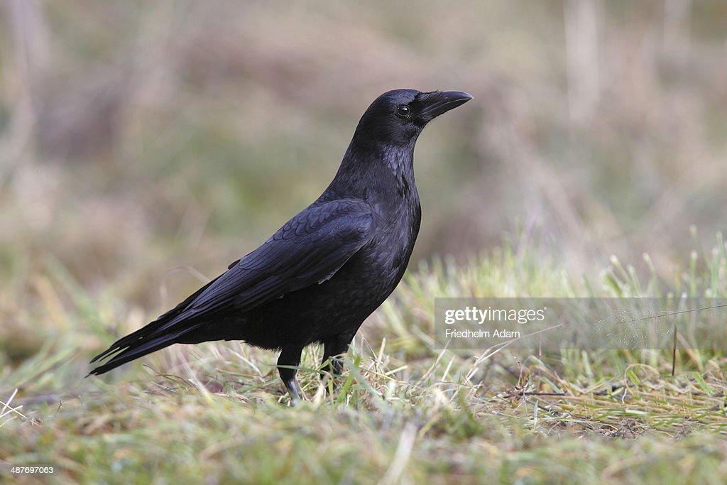Carrion crow -Corvus corone corone- in the grass, North Rhine-Westphalia, Germany : Stock Photo