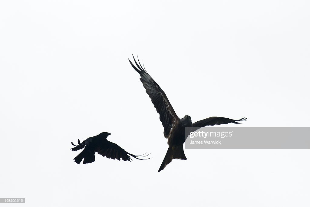 Carrion crow mobbing red kite