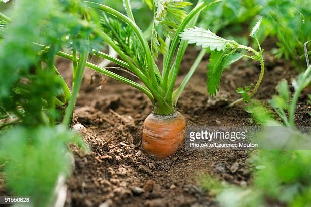 Carrot growing in vegetable garden