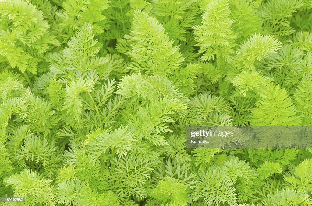 Carrot leaves in the garden : Stock Photo