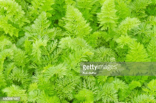 Carrot leaves in the garden : Stock Photo