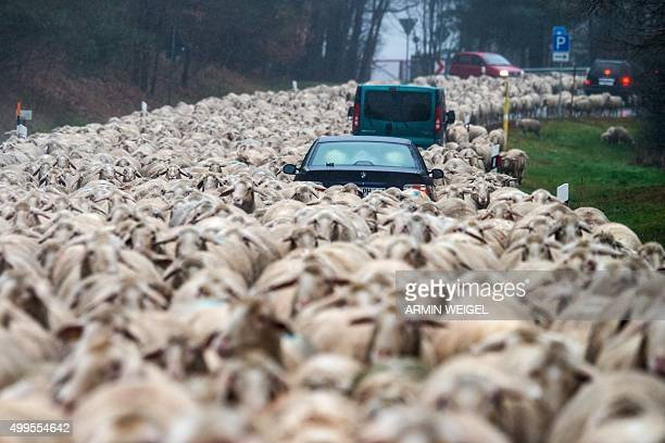 TOPSHOT Cars stuck in a flock of sheep being driven across a street to another meadow near Bad Koetzting southern Germany on December 1 2015 / AFP /...