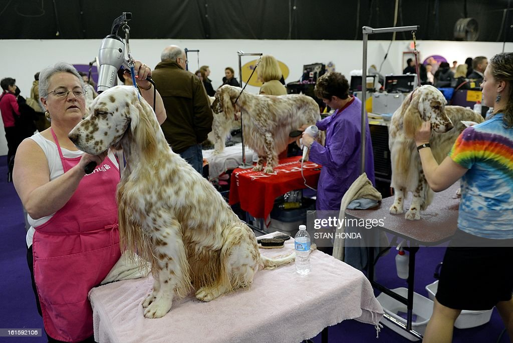 Cash, an English Setter, gets a blow dry from BJ Parsons, with other English Setters before judging at the Westminster Kennel Club Dog Show February 12, 2013 in New York. AFP PHOTO/Stan HONDA