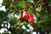 Cashew fruit (Anacardium occidentale) hanging on tree