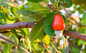 Cashew fruit on tree