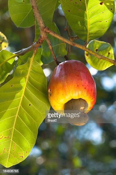 Cashew Obst