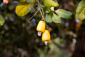 Cashew fruits (Anacardium occidentale) growing on a tree. This extraordinary nut grows outside the fruit
