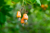Cashew nuts grow on a tree branch. Cashew nuts (Anacardium occidentale) and leaves in a garden in Prachuap Khiri Khan city, Thailand. Cashew plant outdoors.