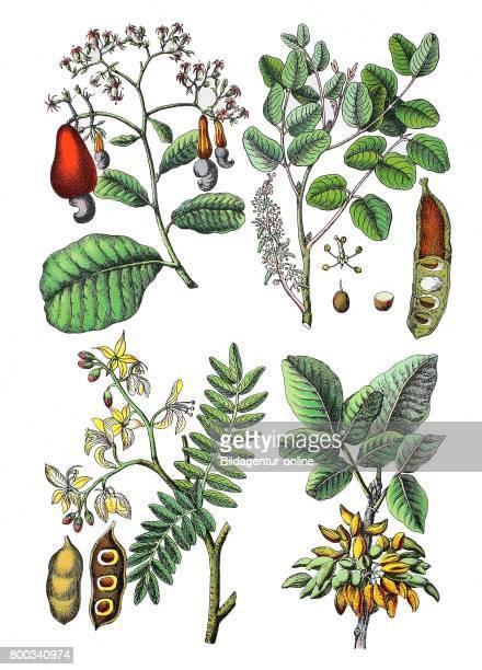 Cashew tree Anacardium occidentale carob tree St John'sbrea Ceratonia siliqua Tamarind Tamarindus indica Pistachio Pistacia vera
