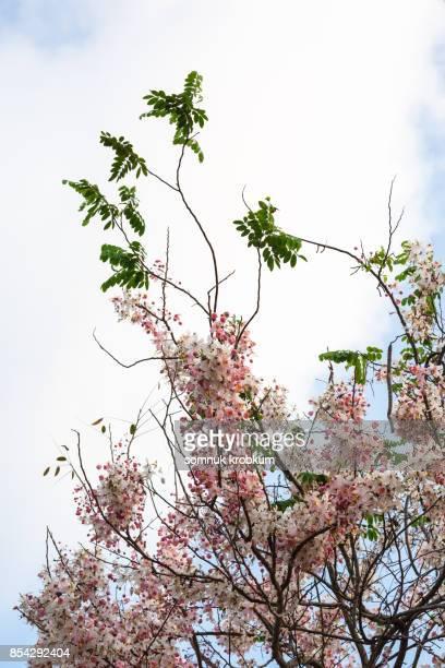 Cassia agnes tree