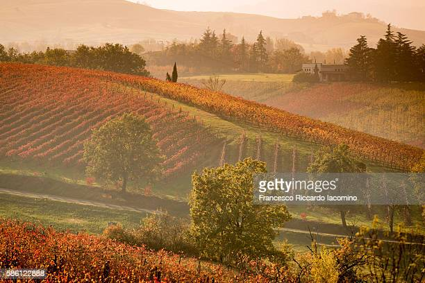 Castelvetro, Modena. Autumn vineyards