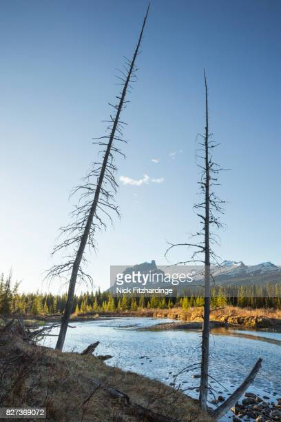 Castle Mountain framed by two dead trees on the edge of the Bow River, Banff National Park, Alberta, Canada