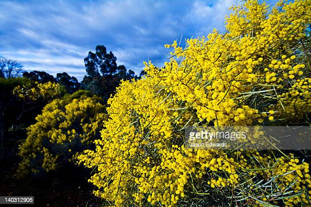 The bright yellow flowers of the Wirilda Wattle, Acacia retinues.