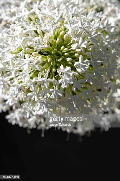 The delicate white petals of a Valerian flower in a cottage garden.