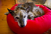 An old much-loved grizzled and grey dog resting in a bright red bed.