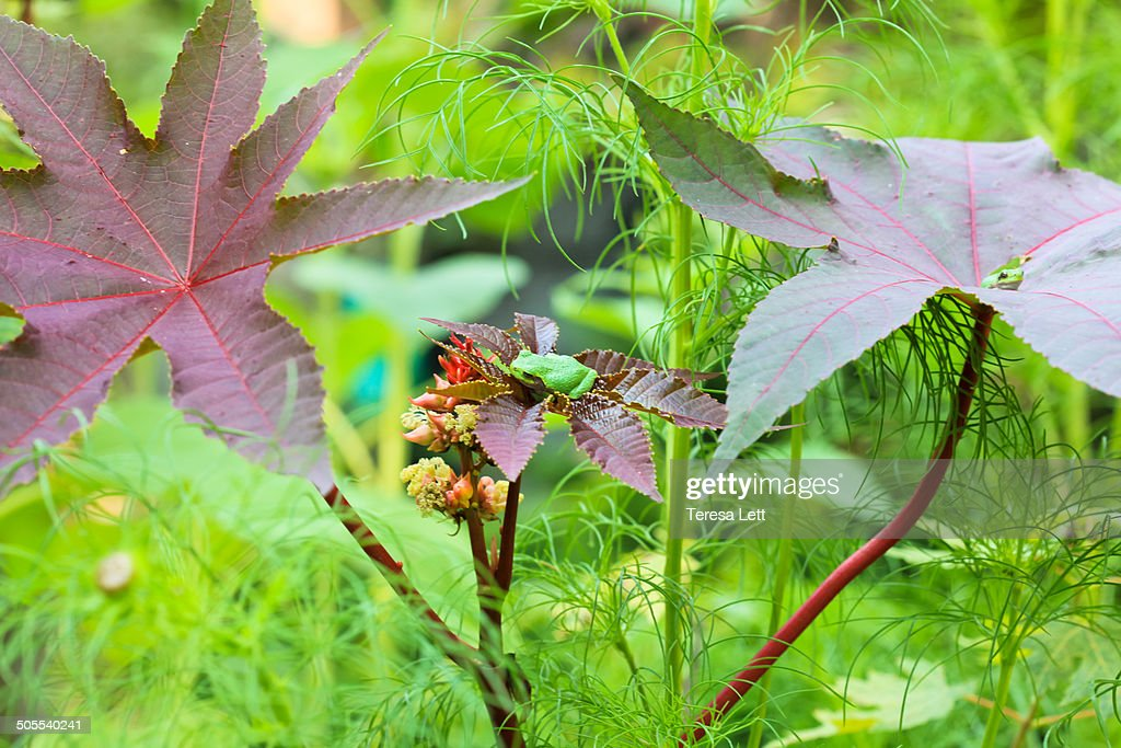 Castor bean plants with frogs