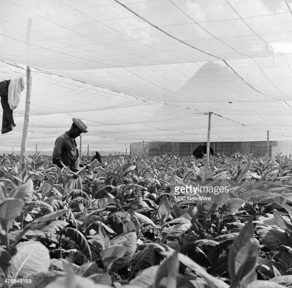 WIDE 60 'Castro's Year of Power' Episode 101 Pictured Tobacco farmer inspects 40day old planting of Virgina blond tobacco under netting at a...