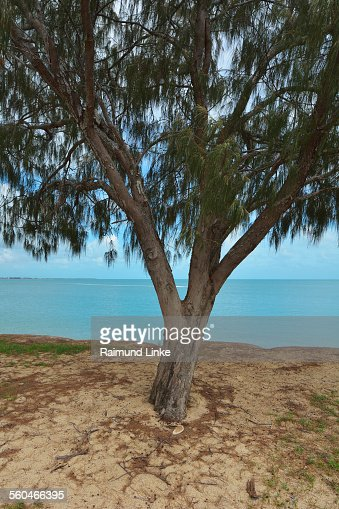the casuarina tree Our casuarina tree our casuarina tree is a poem by toru dutt, an indian poetthe poem gives an objective description of the tree and the charm associated with poet's childhood.