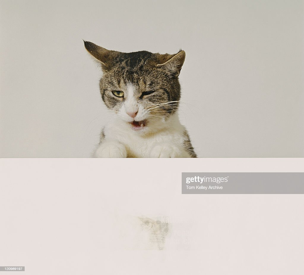 Cat against white background, close-up : Stock Photo