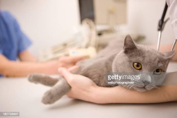 Cat en veterinario