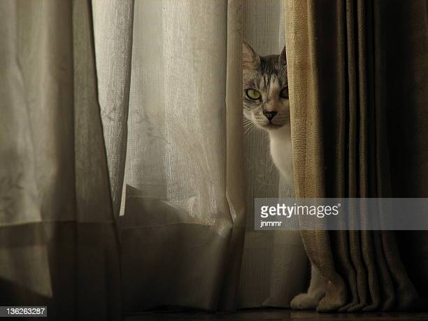 Cat behind curtain