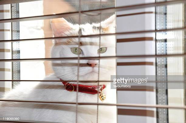 Cat behind window blinds