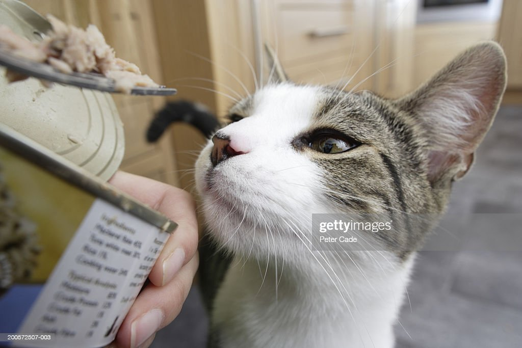 Cat being fed tuna, close-up : Stock Photo